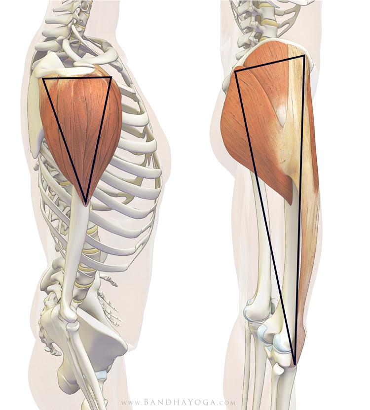 Anatomy Tuesday - TFL, Tensor Fascia Latae - CrossFit Roseville