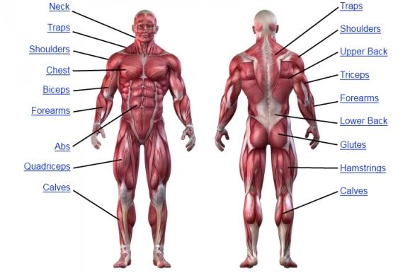 muscle-anatomy-chart